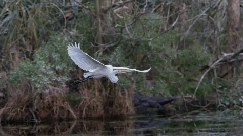 Lower Light, Great Egret - Click To Enlarge