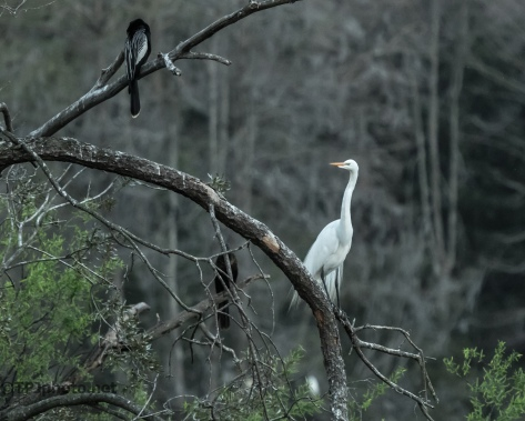 Egret Settling In - Click To Enlarge