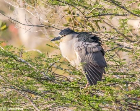 Black-crowned Night Heron - Click To Enlarge