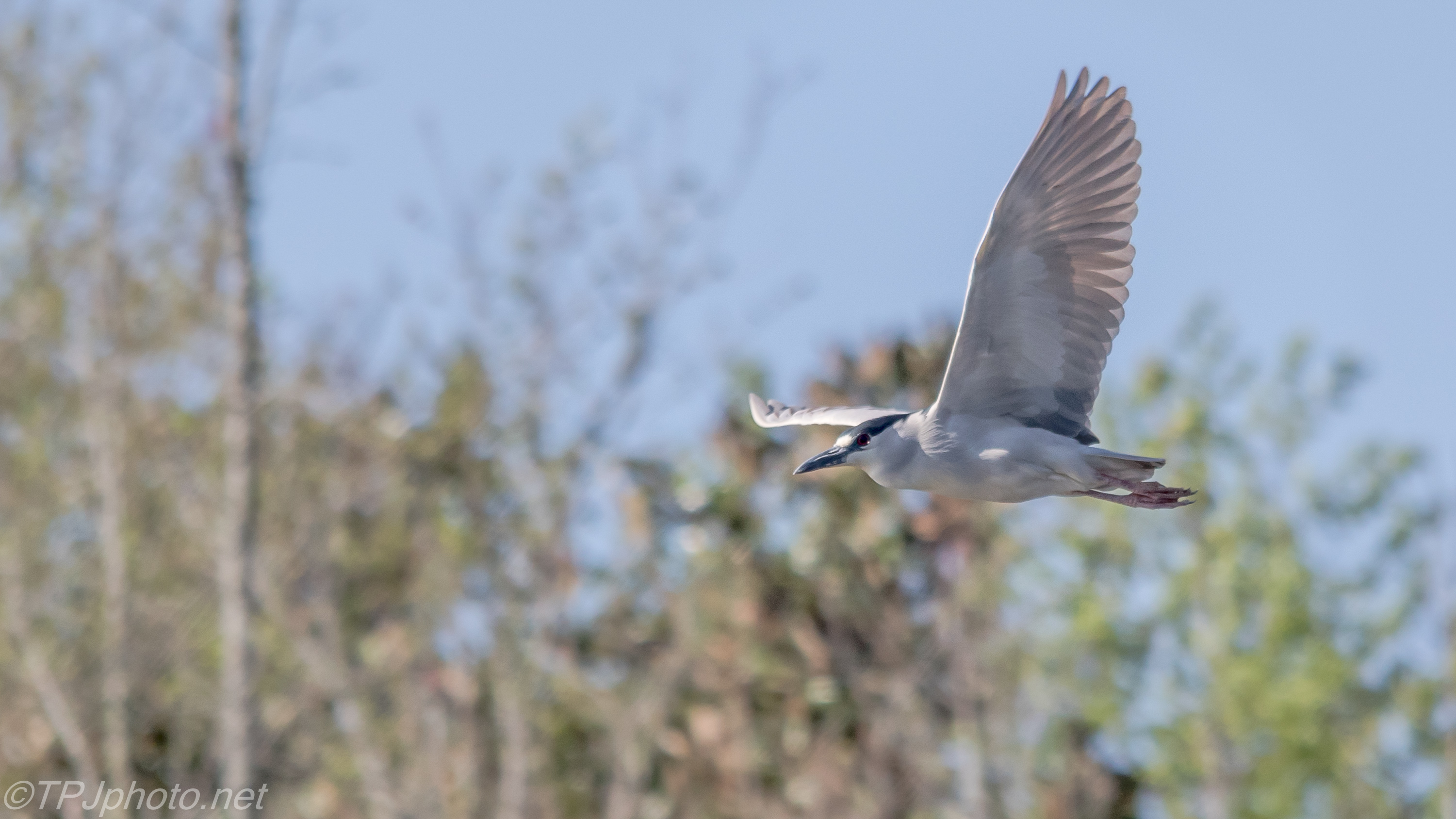 Night heron in flight - photo#49