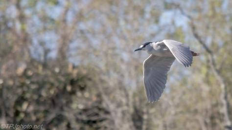 Black-crowned Night Heron In Flight - Click To Enlarge