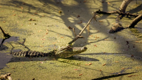 Alligator, Why You Don't See Them - Click To Enlarge