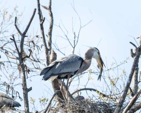 Lunch Time With The Heron Family - Click To Enlarge