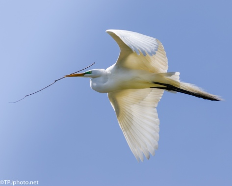 Great Egret Close Up In Flight - Click To Enlarge