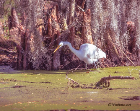 Egret, Skulking Along - Click To Enlarge