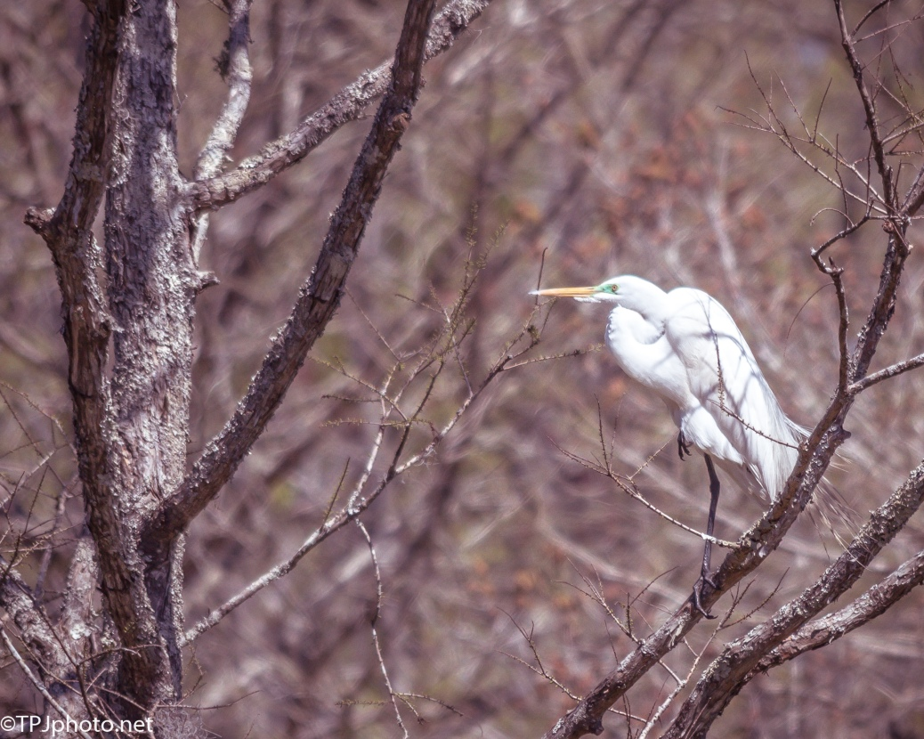 Egret Perched - Click To Enlarge