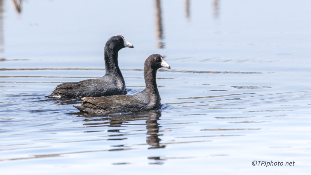 A Coot Couple - Click To Enlarge