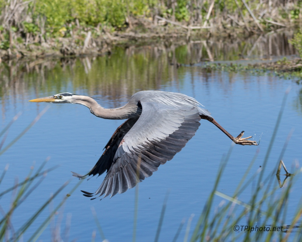 Pop Up Great Blue Heron - Click To Enlarge