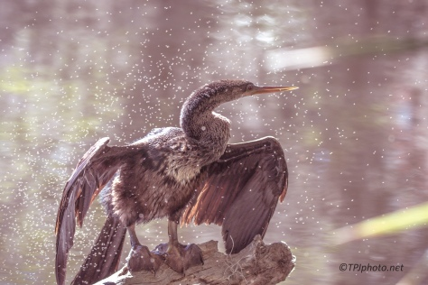 Anhinga, And Friends - Click To Enlarge