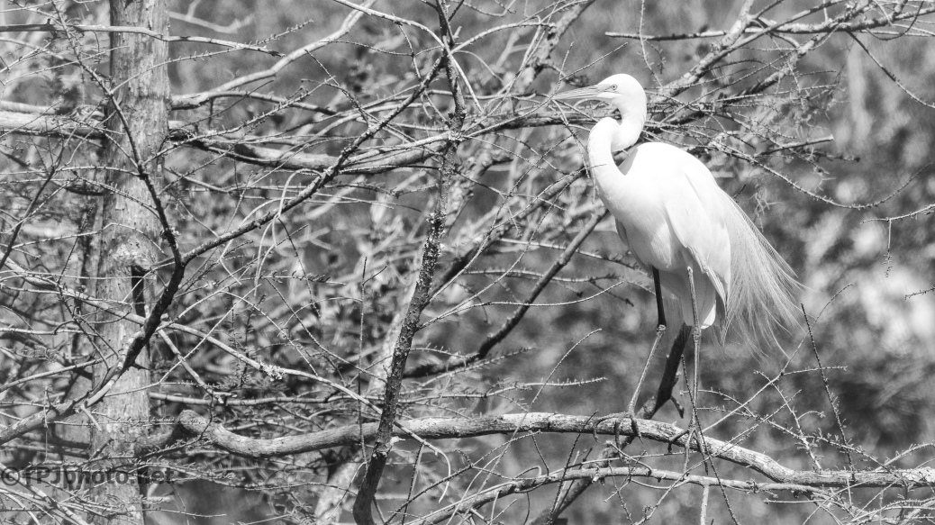 Black And White Egret, Kodak Pro Filter - Click To Enlarge