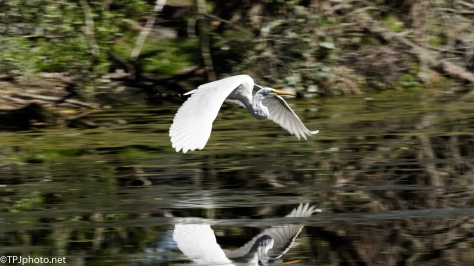 Zooming Great Egret - Click To Enlarge