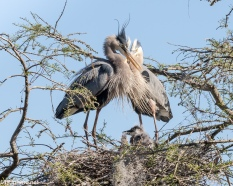 Yes, Blue Herons Do Hug - Click To Enlarge