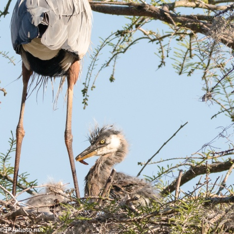 Baby Great Blue Heron - Click To Enlarge