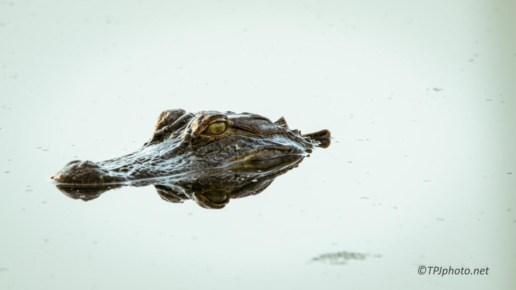 Alligator Portrait - Click To Enlarge