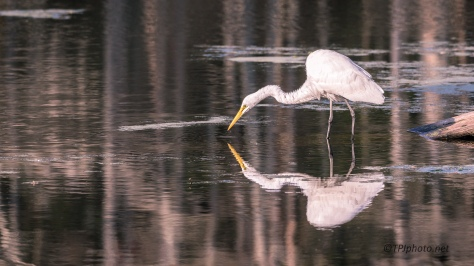 Egret And His Own Reflection - Click To Enlarge