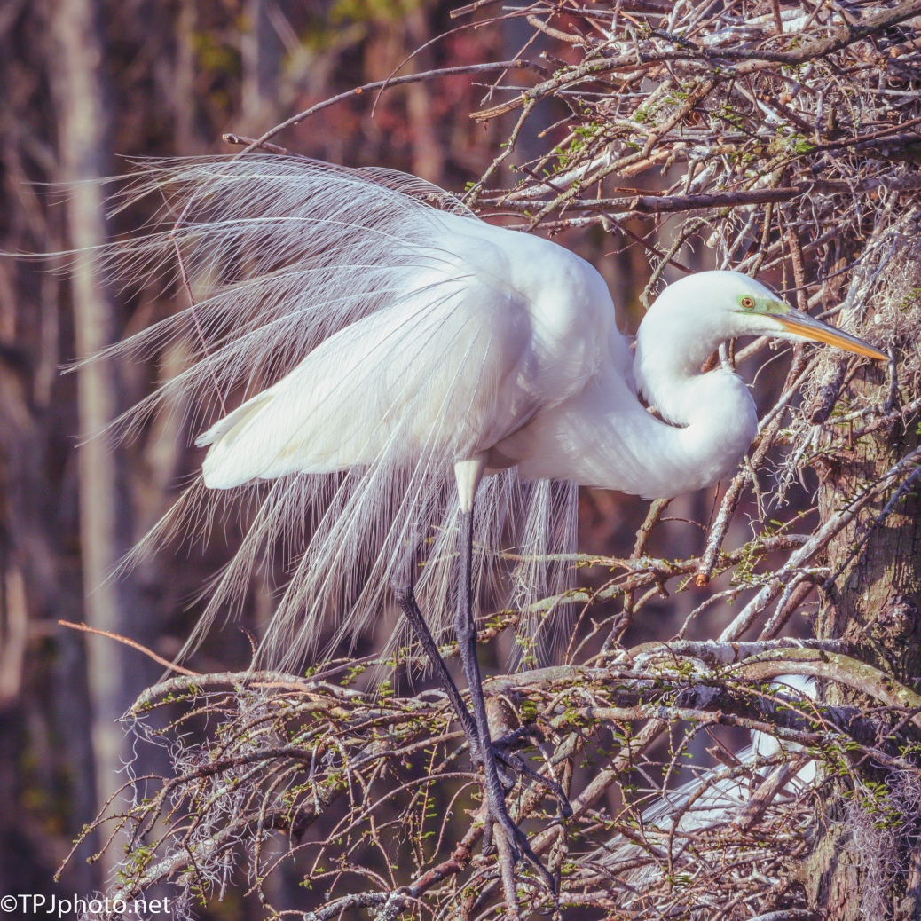 Another Egret Showing Off - Click To Enlarge