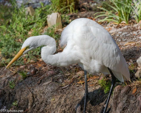 Close Egret - Click To Enlarge