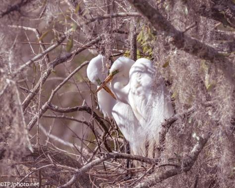 Hidden Egret Nest - Click To Enlarge