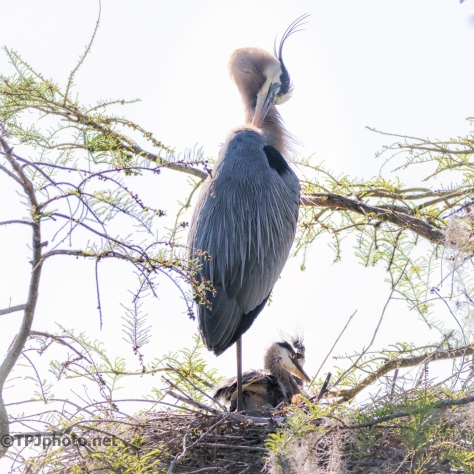Great Blue Heron With Young - Click To Enlarge