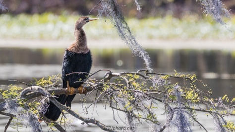 Anhinga Sitting And Watching - Click To Enlarge