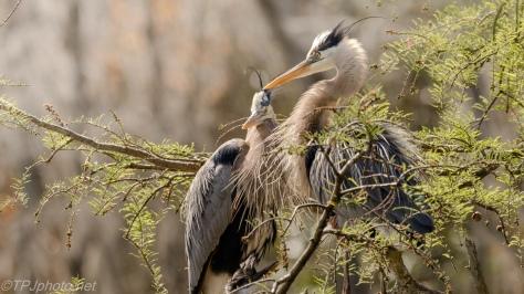 Great Blue Herons Posing - Click To Enlarge