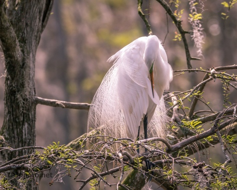 Great Egret Preening In The Sun - Click To Enlarge