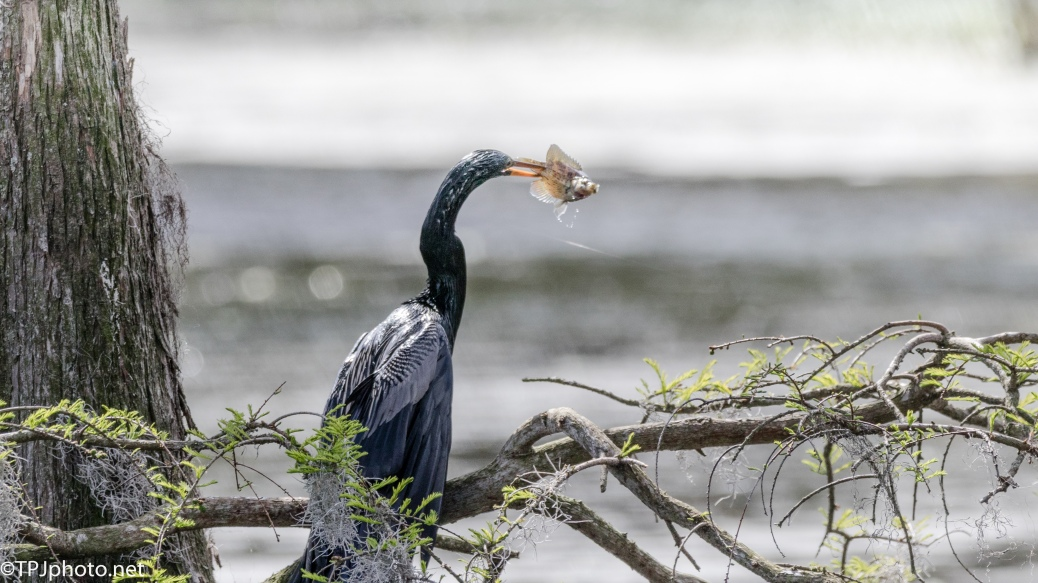 Anhinga, Successful Fishing Trip - Click To Enlarge