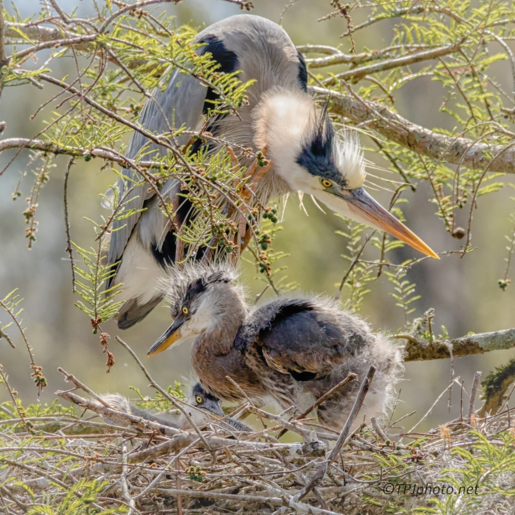 Heron Nest Up Close - Click To Enlarge