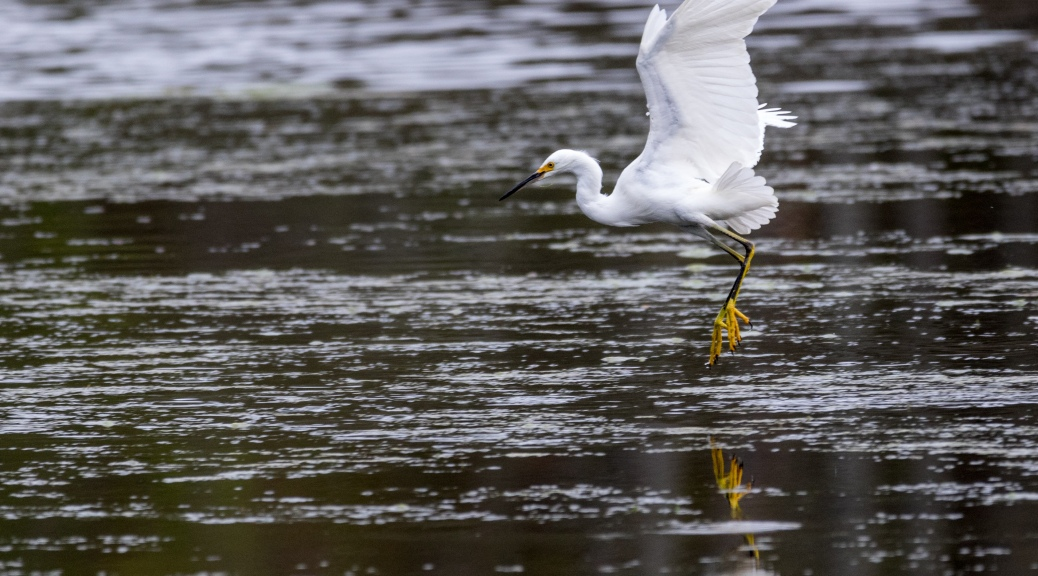 Little Snowy Dancing On The Water - Click To Enlarge