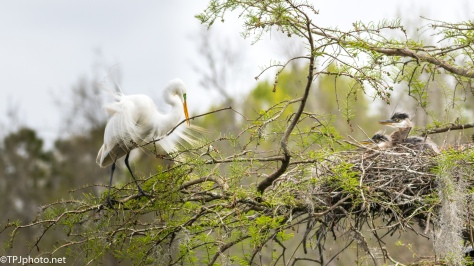 Tale Of Two Herons, Testing And Intimidation - Click To Enlarge