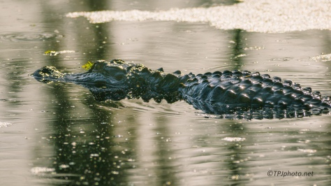 Alligator, Peaceful, And Then ... - Click To Enlarge