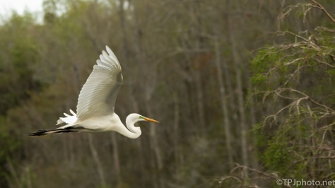 Great Egret Over A Swamp - Click To Enlarge