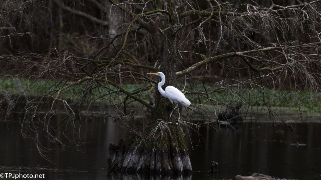 Egret In A Cypress - Click To Enlarge