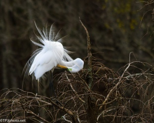 Great Egret Mating Dance - Click To Enlarge