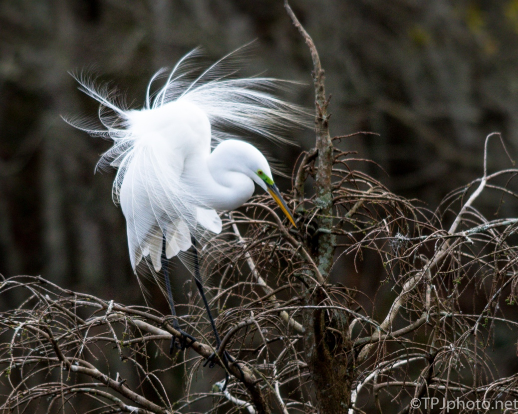 Great Egret Giving A Show - Click To Enlarge