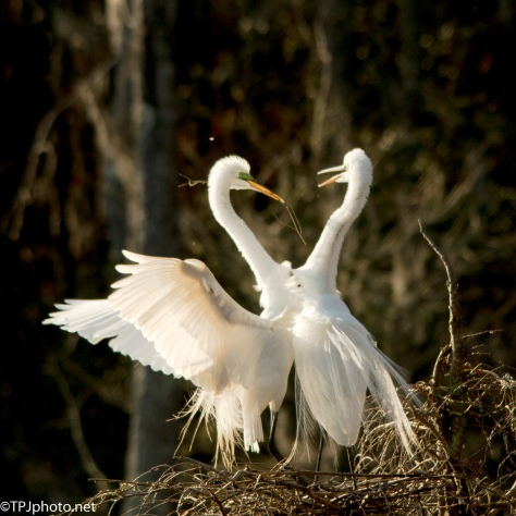 Honey I'm Home, Egrets - Click To Enlarge