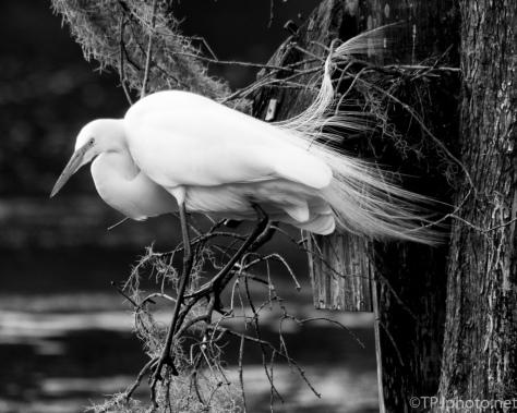 Great Egret Full Plumage