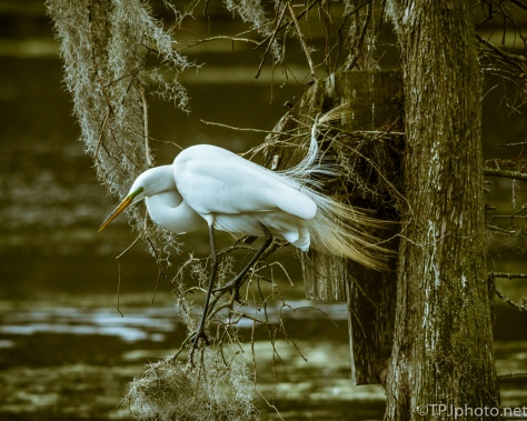 Great Egret In A Cypress Tree - Click To Enlarge