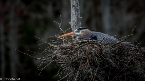 Great Blue Heron On Eggs - Click To Enlarge