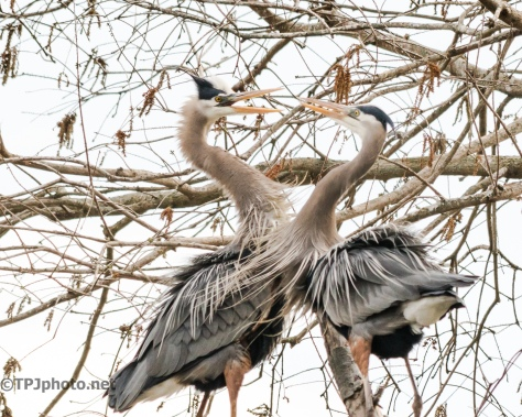 Nesting Great Blue Herons - Click To Enlarge