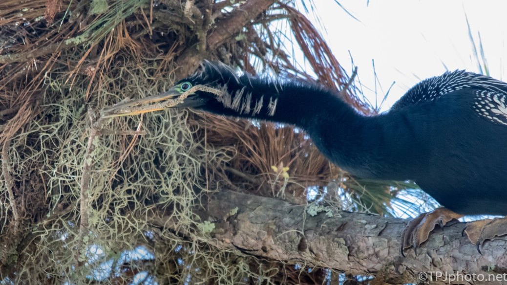 Anhinga Collecting Sticks - Click To Enlarge