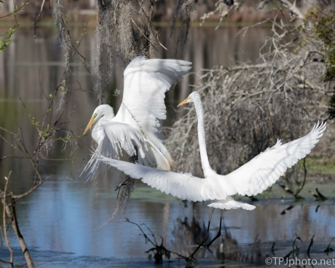 Egret Not Welcome - Click To Enlarge