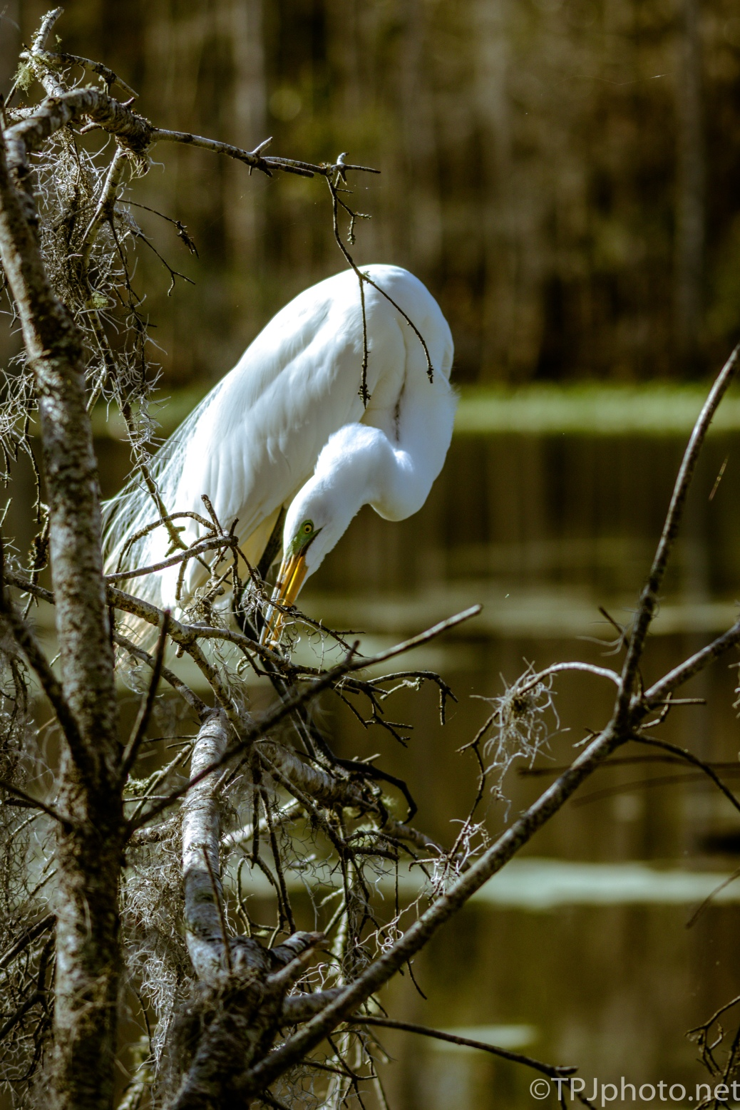 Egret, Pretty In The Sun - Click To Enlarge