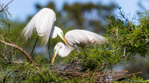 Great Egrets Sharing The Nest - Click To Enlarge