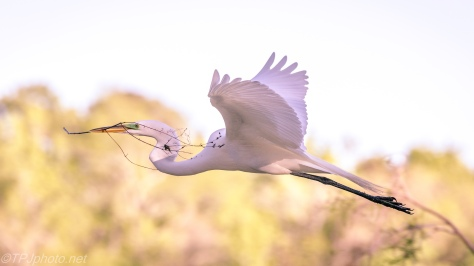 Great Egrets In Flight Series - Click To Enlarge