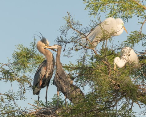 Tale Of Two Herons, Feeding Teenagers - Click To Enlarge