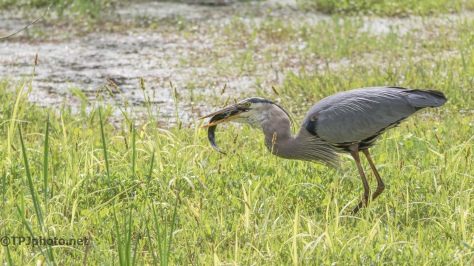 Great Blue Heron VS Super Sized Mud Puppy - Click To Enlarge