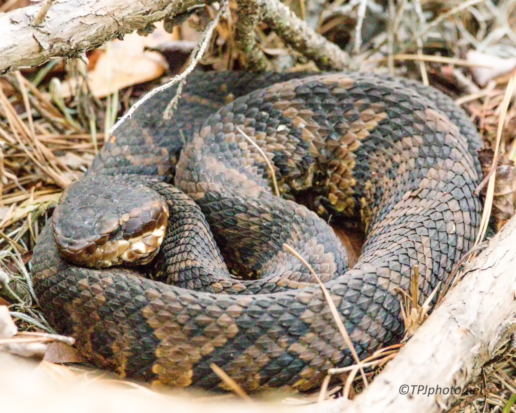 Cottonmouth, Water Moccasin - Click To Enlarge