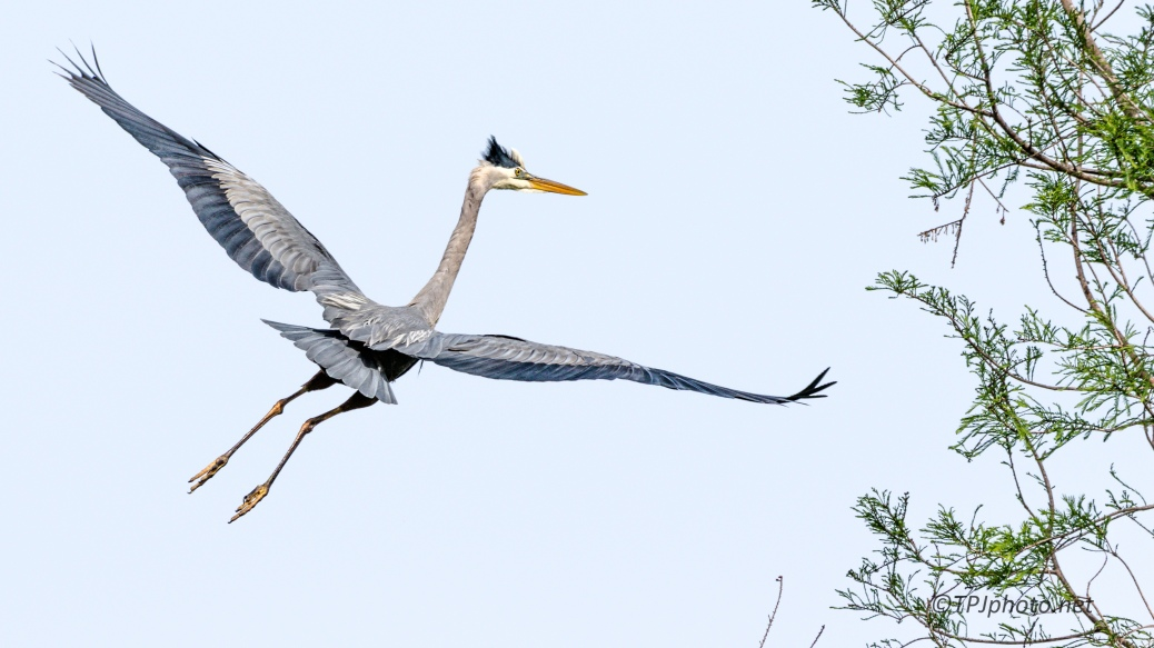 Great Blue Heron Making A Landing - Click To Enlarge