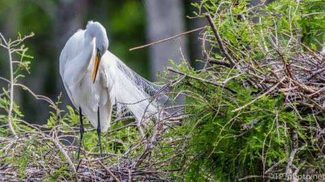 Great Egret Preening Her Plumage - Click To Enlarge